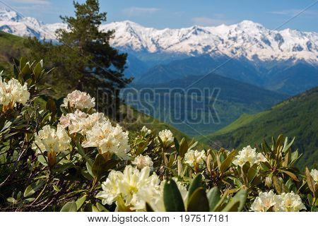 Blooming Rhododendrons On The Green Slopes Of The Mountains