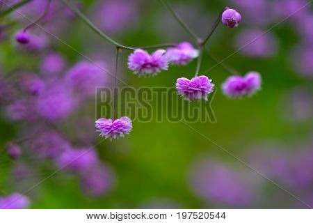 Thalictrum delavayi 'Hewitt's double' flowers. Pink flowers of Chinese meadow rue an ornamental perennial in the family Ranunculaceae