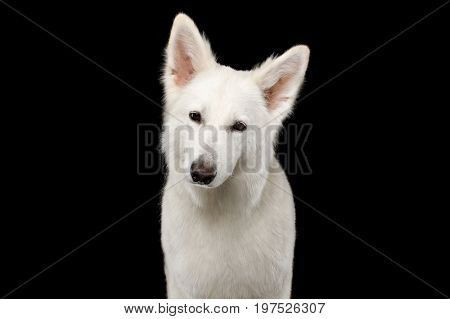 Portrait of White Swiss Shepherd Dog Looks Curious on Isolated Black Background, front view