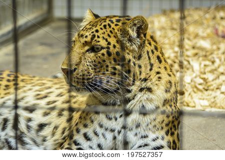 The North-Chinese leopard (Panthera pardus japonensis), also known as North China leopard, is a leopard subspecies native to northern China.