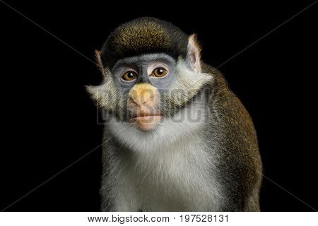 Portrait of Red tail monkey, or Schmidt's guenon Cercopithecus ascanius ape Isolated on Black Background