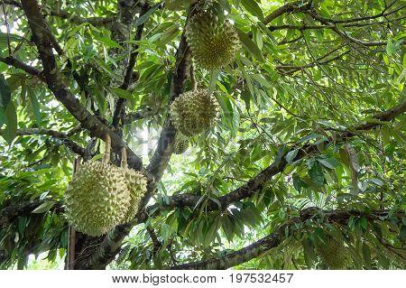 Durian tree in the farm fruit , durian organic
