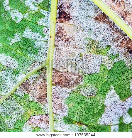 Sheet grapes affected by fungal disease downy Mildew false mildew ( Plasmopara viticola )