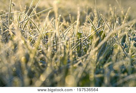 blur background from a green grass covered with hoarfrost. frosty meadow leaves frozen .sunrise over an autumn meadow sunshine light a grass