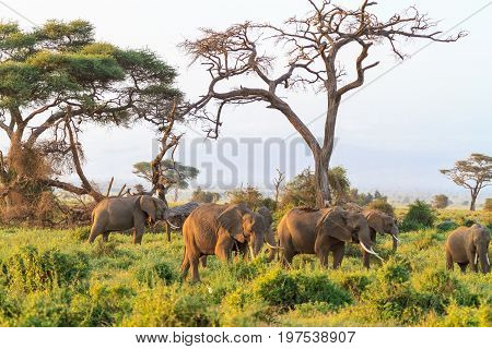 Elephants family. Amboseli national park. Kenya, Kilimanjaro mountain.