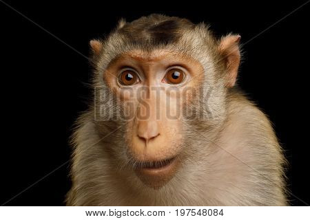 Pig-tailed macaque, Portrait of funny face of Monkey Isolated on Black Background
