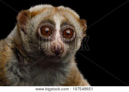 Close-up Portrait of Lemur Slow Loris Stare Isolated Black background