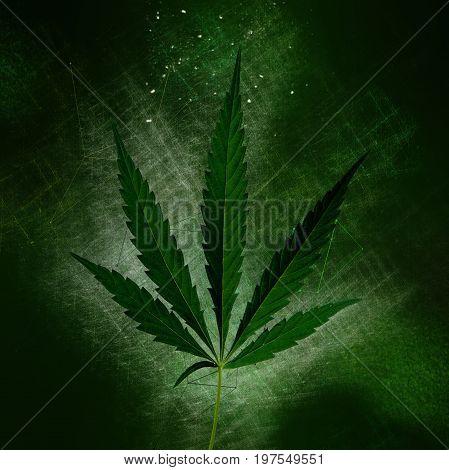 Green cannabis sativa or marijuana leaf, simple illustration