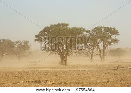 Landscape with trees during a severe sand storm in the Kalahari desert, South Africa