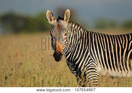 Portrait of a Cape mountain zebra (Equus zebra), Mountain Zebra National Park, South Africa