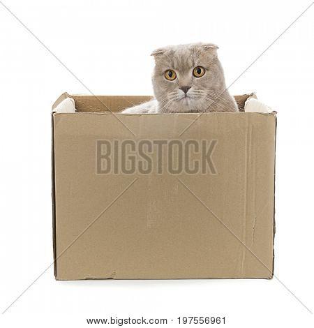Scottish Fold in Cardboard Box