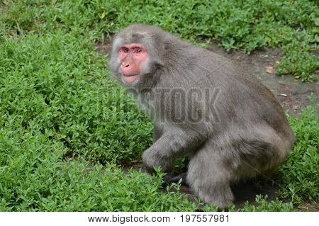 A snow monkey in the outdoors during summer