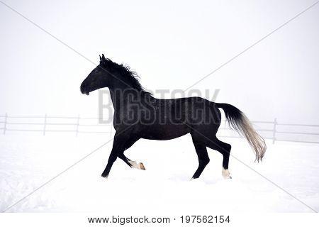 Beautiful horse running outdoor in winter