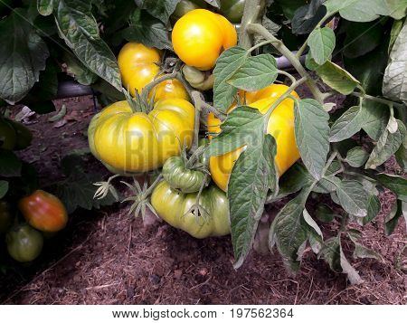 Yellow big tomatoes grow in our garden