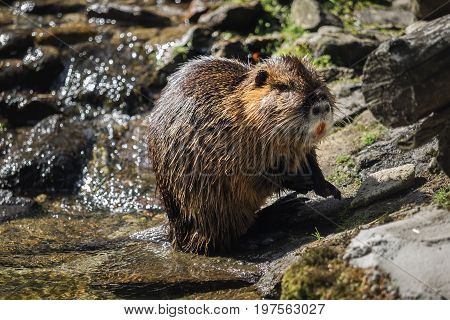 A beautiful beaver by the water outside