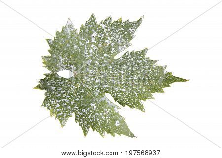 Sick Vine Leaf Isolated On White