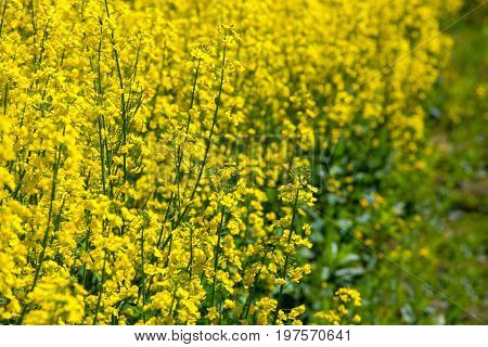 Beautiful Flowering Rapeseed Field Under The Blue, Cloudless Sky On A Clear Spring Day.