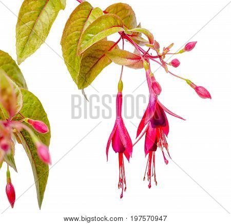 Blooming Hanging Twig In Shades Of Dark Red Fuchsia Variegated Is Isolated On White Background, Mage