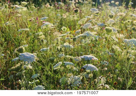 summer meadow with wild carrots in backlight