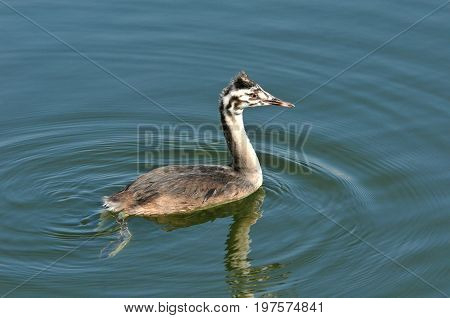 The great crested grebe is a member of the grebe family of water birds. Nestling, young bird.
