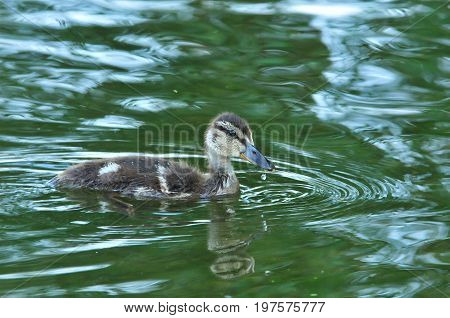 Mallard - bird of the duck family detachment of waterfowl. Duckling Mallard sails alone.