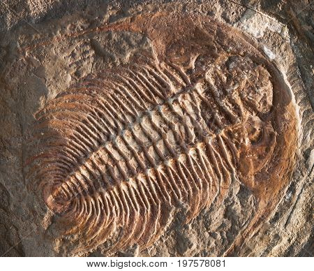 Fossil of Hydrocephalus briareus from cambrian period found in Marroco