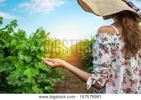 Vineyard winery tourist woman grape picking. Harvest farming to make white wine. Girl hand showing holding bunch of green grapes on grapevine.