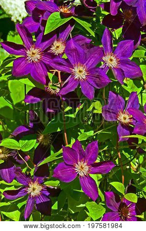 A photo of a vining deep purple clematis plant with bright green leaves
