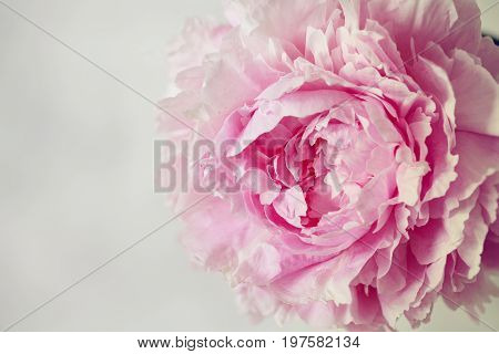 Fresh Bunch Of Pink And White Peonies, Peony Roses Flowers