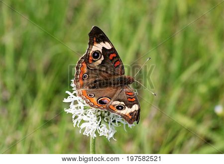 Close-up of a common buckeye butterfly on a white puffball wildflower in a green grassy field.