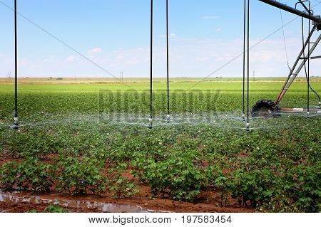 A cotton field irrigated with center pivot automated sprinkler system