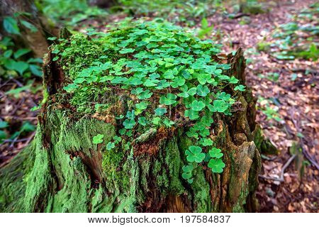 Close up scenic image of stump covered with moss and clover in the forest