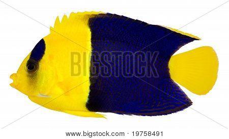 Bicolor Cherub Angelfish (centropyge Bicolor)