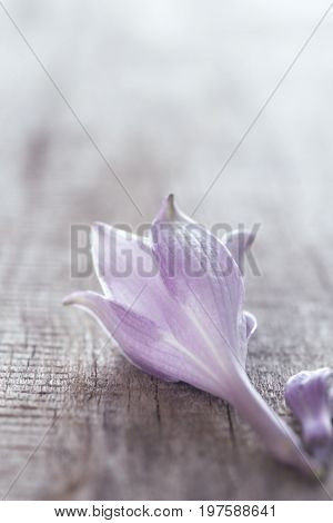 Delicate lilac flower on a gray board. A flower in the form of a hand bell faintly violet on a table from old boards. Rural style close up selective focus. Copyspase top