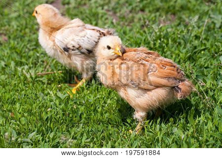 two yellow baby chicken in the green grass.