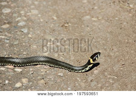 Grass snake on the footpath in the sunny day