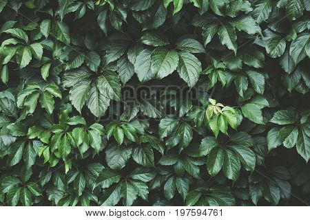 Dark green foliage in Low key, Green leaves background, pattern, texture, toned