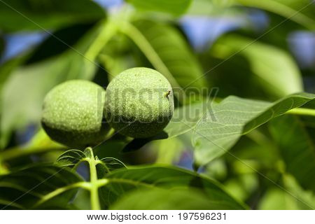 Two young walnuts growing on a tree.