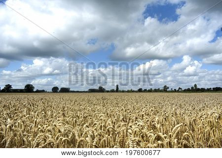 In the middle of a golden wheat field on farmland in England UK