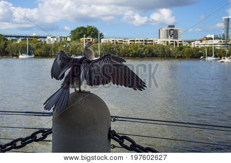 Cormorant phalacrocorax drying the feathers on an urban location along the Brisbane River in the Brisbane City.