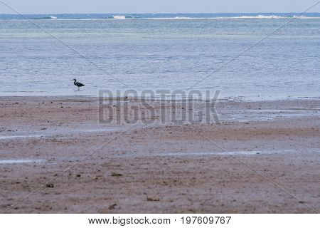 Pacific Reef Heron In Shallow Water