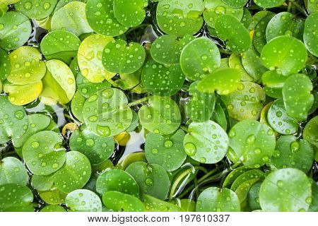any of a number of large water lilies, in particular