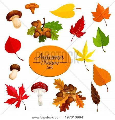 Autumn nature icons of tree leaf fall and seasonal mushrooms and oak acorn nuts. Vector falling leaves set of maple and chanterelle for Thanksgiving or autumn sale design