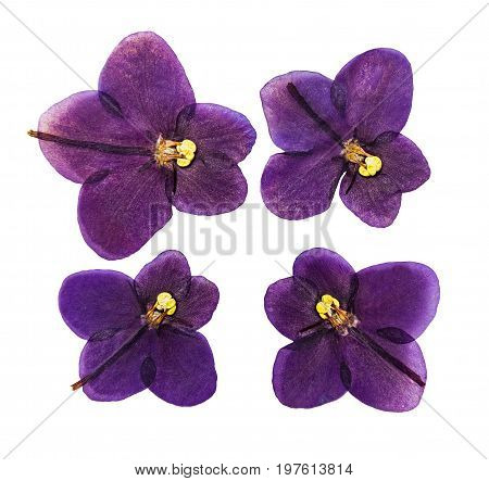 Set of pressed and dried violet flowers saintpaulia isolated on a white background. For use in scrapbooking pressed floristry (oshibana) or herbarium.
