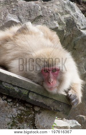 Close up of a snow monkey or Japanese macaque facing the camera resting on a wood plank.