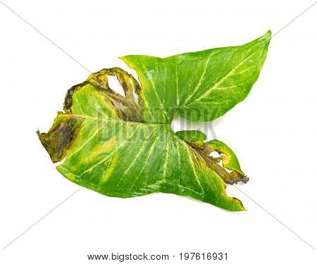 faded leaf on a white background horizontal
