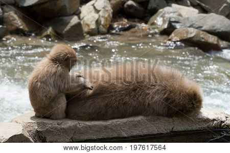 Close up of a baby snow monkey grooming its Japanese macaque mother at the water's edge.