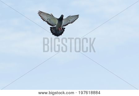 full body of homing pigeon hovering on sky