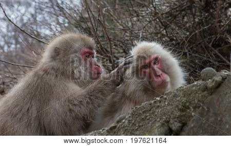 A pair of adult snow monkeys or Japanese macaques with one grooming the other. They sit among boulders. Shallow depth of field.