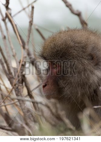 Close up of the head only of a snow monkey or Japanese macaque  facing left sitting among branches. Shallow depth of field.